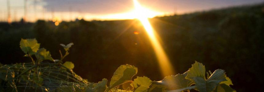 The Vineyard on the Prairie