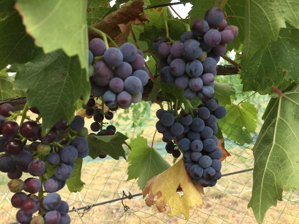 Veraison at OFV