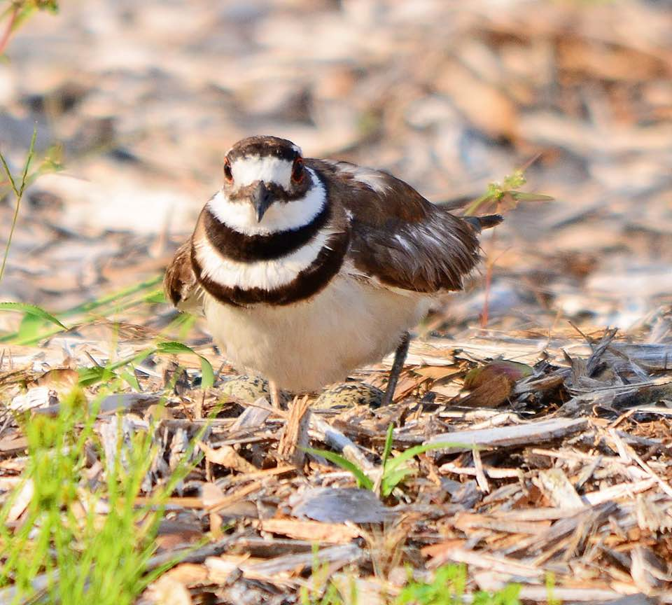 Kildeer at Old Folsom Vineyard