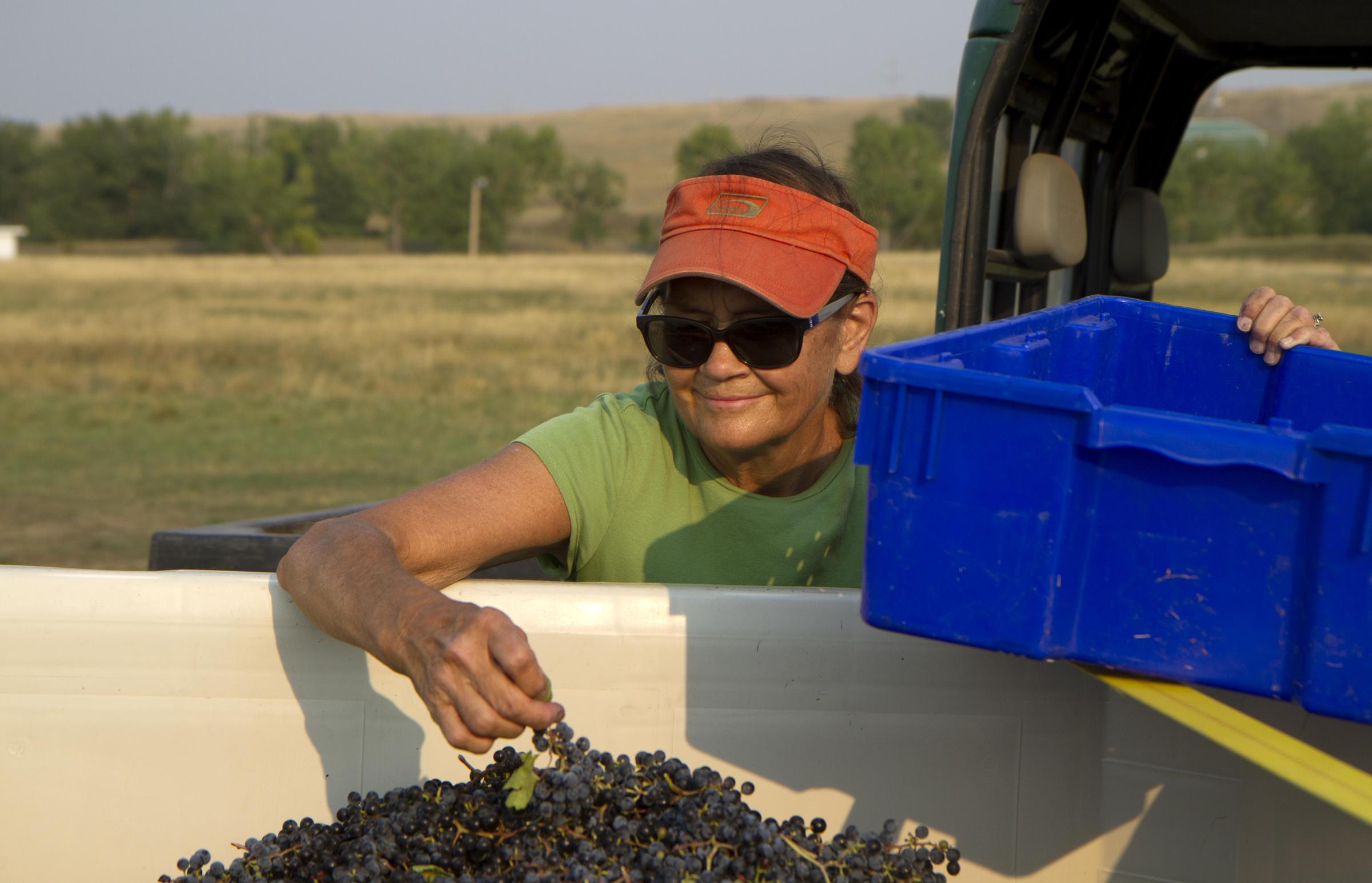 In the News: SDPB visits Old Folsom Vineyard for Harvest