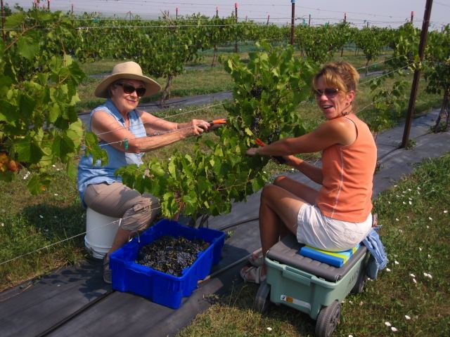 Chris and Karla picking grapes